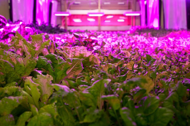 Low shot of large beds of leafy green vegetables, lit by magenta fluorescents, seen hanging in the distance.